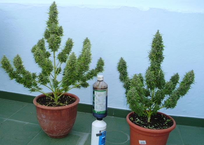 Советы по выращиванию автоцветущей конопли на открытом воздухе