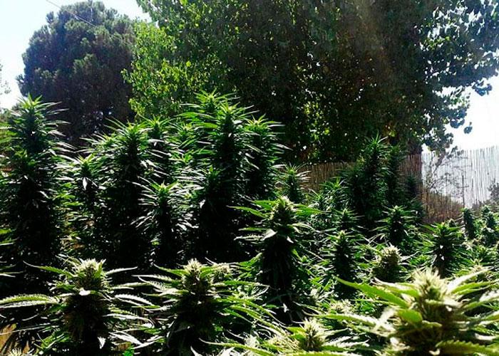 Особенности культивации марихуаны в лесу
