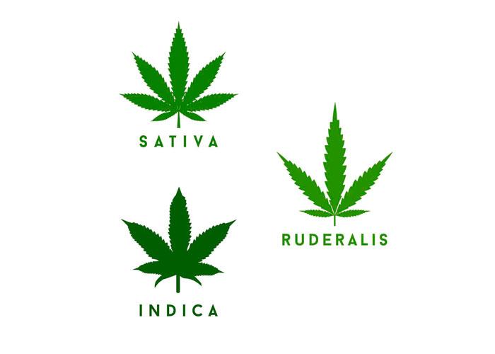 Виды и разновидности каннабиса: indica, sativa и ruderalis